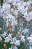 MARCHANTS HARDY PLANTS, EAST SUSSEX: CLOSE UP PLANT PORTRAIT OF THE WHITE AND PINK FLOWERS OF GAURA LINDHEIMERI. PERENNIAL, BLOOM, BLOOMS, FLOWERING