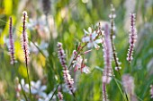 MARCHANTS HARDY PLANTS, EAST SUSSEX: PLANT COMBINATION, ASSOCIATION. WHITE AND PINK FLOWERS OF GAURA LINDHEIMERI AND . PERENNIAL, BLOOM, BLOOMS, FLOWERING