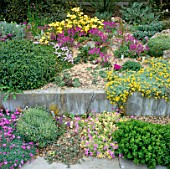 ALPINES IN RAISED BEDS  COPTON ASH  KENT ERINUS ALPINUS AND ALYSSUM SERPYLLIFOLIUM (YELLOW CASCADE)