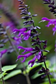 CLOSE UP OF SALVIA AMISTAD