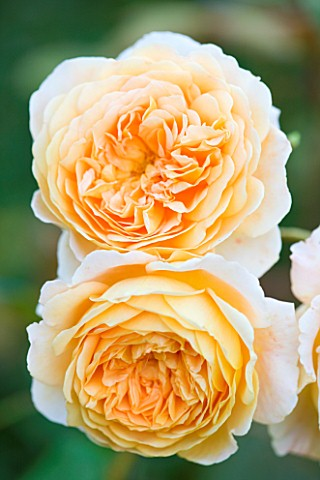 WOOLSTONE_MILL_HOUSE_OXFORDSHIRE_ROSA_BUFF_BEAUTY_ROSE_SUMMER_JULY_PEACH_APRICOT_ORANGE_SCENTED_FRAG