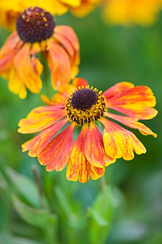 WOOLSTONE_MILL_HOUSE_OXFORDSHIRE_HELENIUM_SAHINS_EARLY_FLOWERER_ORANGE_PERENNIAL_JULYAUGUST_LATE_SUM