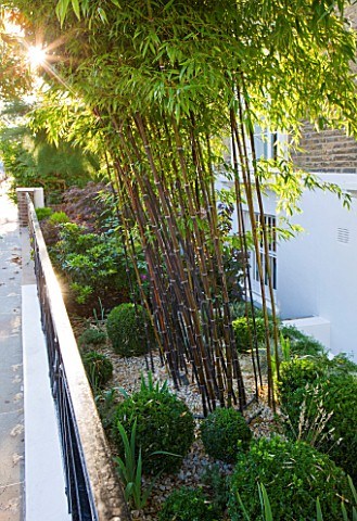 DESIGNER_STEPHEN_WOODHAMS_LONDON_FRONT_GARDEN_WITH_BOX_BALLS_AND_BAMBOO__PHYLLOSTACHYS_NIGRA__SCREEN