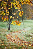 HOLKER HALL  CUMBRIA: A GRASS PATH WINDS PAST A CHESTNUT TREE ON AN AUTUMN MORNING