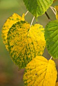 HOLKER HALL  CUMBRIA: AUTUMN LEAF OF DAVIDIA INVOLUCRATA - POCKET HANDKERCHIEF TREE  HANDKERCHIEF TREE   DOVE TREE  GHOST TREE