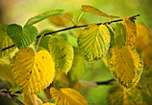 HOLKER HALL  CUMBRIA: AUTUMN LEAVES OF DAVIDIA INVOLUCRATA - POCKET HANDKERCHIEF TREE  HANDKERCHIEF TREE   DOVE TREE  GHOST TREE