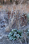 ELLICAR GARDENS, NOTTINGHAMSHIRE: FROSTED SEED HEADS OF PHLOMIS RUSSELIANA IN BORDER. WINTER