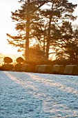SEDGWICK PARK, WEST SUSSEX. WINTER SUNLIGHT ON MONTEREY PINE TREES WITH BLOCKS OF YEW TOPIARY BESIDE FROSTY LAWN. JANUARY, GARDEN.