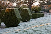 SEDGWICK PARK, WEST SUSSEX. BLOCKS OF YEW TOPIARY BESIDE FROSTY LAWN WITH MONTEREY PINE TREES. WINTER, JANUARY, GARDEN