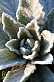 SEDGWICK PARK, WEST SUSSEX. CLOSE UP OF FROSTED VERBASCUM MULLEIN FOLIAGE. ROSETTE, WINTER, JANUARY. PLANT PORTRAIT.