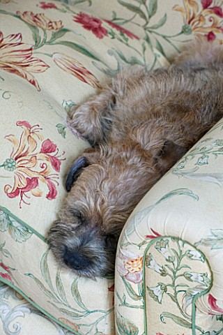 BUTTER_WAKEFIELD_HOUSE_LONDON_FAMILY_ROOM_AT_CHRISTMAS_WAFER__THE_FAMILYS_BORDER_TERRIER_ON_THE_PLUS