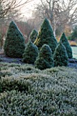 SIR HAROLD HILLIER GARDENS, HAMPSHIRE: THE WINTER GARDEN - MIST - LAWN WITH BED OF PICEA GLAUCA ALBERTA BLUE AND PICEA GLAUCA ARNESONS BLUE VARIEGATED