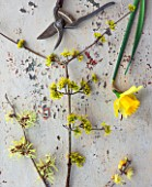 SIR HAROLD HILLIER GARDENS, HAMPSHIRE: THE WINTER GARDEN - STYLING BY JACKY HOBBS - STILL LIFE - SCENTED PLANTS - HAMAMELIS X INTERMEDIA SUNBURST, CORNUS MAS SPRING GLOW, NARCISSUS FIRST HOPE, CHIMONANTHUS