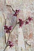 SIR HAROLD HILLIER GARDENS, HAMPSHIRE: THE WINTER GARDEN - STYLING BY JACKY HOBBS - STILL LIFE OF HAMAMELIS AMETHYST, WITCH HAZEL