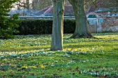 CHIPPENHAM PARK, CAMBRIDGESHIRE: SHEETS OF ACONITES, ERANTHIS HYEMALIS - AND SNOWDROPS -  IN WINTER