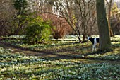 CHIPPENHAM PARK, CAMBRIDGESHIRE: SHEETS OF SNOWDROPS IN THE WILDERNESS WITH COW SCULPTURE BESIDE TREE - WINTER