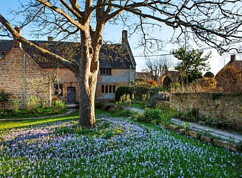 EAST_LAMBROOK_MANOR_SOMERSET_WINTER__CROCUS_TOMMASINIANUS_BENEATH_A_SYCAMORE_TREE__ACER_PSEUDOPLATAN