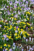 EAST LAMBROOK MANOR, SOMERSET: WINTER - CROCUS TOMMASINIANUS AND ACONITES - ERANTHIS HYEMALIS - BENEATH A TREE ON THE MAIN LAWN
