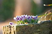 EAST LAMBROOK MANOR, SOMERSET: WINTER - CROCUS PRINS CLAUS IN A STONE TROUGH