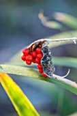 EAST LAMBROOK MANOR, SOMERSET: WINTER - IRIS FOETIDISSIMA - AGM - THE BERRIES OF THE STINKING IRIS OR ROAST BEEF PLANT
