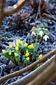 EAST LAMBROOK MANOR, SOMERSET: WINTER - ACONITES - ERANTHIS HYEMALIS AND SNOWDROP - GALANTHUS - PLANT COMBINATION, PLANT ASSOCIATION