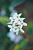 EAST LAMBROOK MANOR, SOMERSET: WINTER - SCENTED FLOWER OF DAPHNE TANGUTICA AGM. FRAGRANT