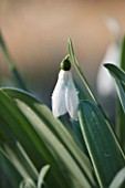 EAST LAMBROOK MANOR, SOMERSET: WINTER - CLOSE UP OF SNOWDROP - GALANTHUS ELWESII MARJORIE BROWN