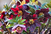 EAST LAMBROOK MANOR, SOMERSET: WINTER - CLOSE UP OF DARK RED HELLEBORE