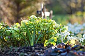 EAST LAMBROOK MANOR, SOMERSET: WINTER - LIME GREEN HELLEBORE