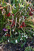 EAST LAMBROOK MANOR, SOMERSET: WINTER - SNOWDROPS AND IRIS FOETIDISSIMA - PLANT COMBINATION, PLANT ASSOCIATION