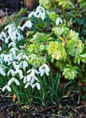 EAST LAMBROOK MANOR, SOMERSET: WINTER - SNOWDROPS AND LIME GREEN HELLEBORES - PLANT COMBINATION, PLANT ASSOCIATION