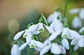 EAST LAMBROOK MANOR, SOMERSET: WINTER - SNOWDROP - GALANTHUS LAMBROOK TALL