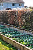 AVON BULBS, SOMERSET - WINTER: STOCK BEDS OF SNOWDROPS