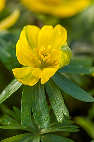 AVON_BULBS_SOMERSET__WINTER_ACONITE__ERANTHIS_GRUNLING