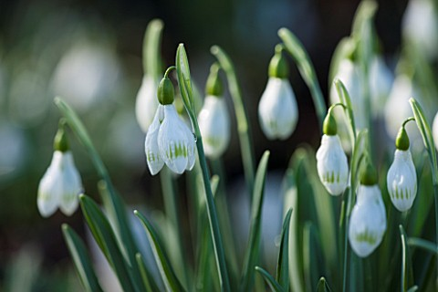 AVON_BULBS_SOMERSET__WINTER_SNOWDROP__GALANTHUS_UNNAMED_GREEN_TIPPED_PLICATE