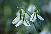 AVON BULBS, SOMERSET - WINTER: SNOWDROP - GALANTHUS SOUTH HAYES