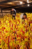 E OLDROYD & SONS, YORKSHIRE : FORCED RHUBARB QUEEN VICTORIA GROWING IN THE FORCING SHEDS LIT BY CANDLES