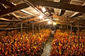 E OLDROYD & SONS, YORKSHIRE : FORCED RHUBARB TIMPERLEY EARLY  GROWING IN THE FORCING SHEDS LIT BY CANDLES