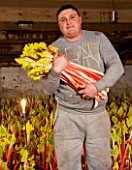 E OLDROYD & SONS, YORKSHIRE : FORCED RHUBARB QUEEN VICTORIA GROWING IN THE FORCING SHEDS LIT BY CANDLES - RHUBARB PICKER HOLDING RHUBARB