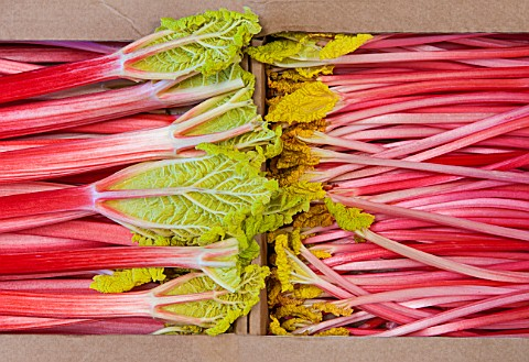 E_OLDROYD__SONS_YORKSHIRE__QUEEN_VICTORIA_FORCED_RHUBARB_AND_TIMPERLEY_EARLY_FORCED_RHUBARB_PACKED_R