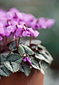 ASHWOOD NURSERIES: CLOSE UP OF CYCLAMEN ALPINUM
