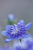 ASHWOOD NURSERIES: JOHN MASSEYS COLLECTION OF HEPATICAS - HEPATICA TRANSSILVANICA ELISON SPENCE