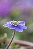 ASHWOOD NURSERIES: JOHN MASSEYS COLLECTION OF HEPATICAS -HEPATICA YAMATUTAI X H TRANSSILVANICA
