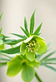 HAZLES CROSS FARM: MIKE BYFORD COLLECTION OF HELLEBORES - HELLEBORUS ABRUZZICUS X ARBRUZZICUS