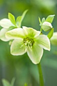 HAZLES CROSS FARM: MIKE BYFORD COLLECTION OF HELLEBORES - HELLEBORUS LIGURICUS FROM ITALY