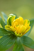 HAZLES CROSS FARM: MIKE BYFORD COLLECTION OF HELLEBORES - ACONITE - ERANTHIS HYEMALIS -  UNKNOWN CULTIVAR