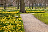 THE NATIONAL TRUST - DUNHAM MASSEY, CHESHIRE: DAFFODILS - NARCISSUS TETE - A - TETE GROWING BESIDRE A PATH IN THE WOODLAND