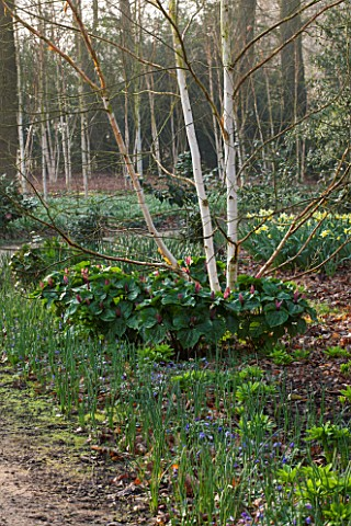 THE_NATIONAL_TRUST__DUNHAM_MASSEY_CHESHIRE_THE_WINTER_GARDEN__BETULA_AND_TRILLIUM_KURABAYASHII