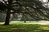 THE NATIONAL TRUST - DUNHAM MASSEY, CHESHIRE: THE WINTER GARDEN - CEDAR OF LEBANON IN THE PARKLAND