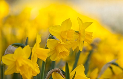 WALKERS_BULBS_LINCOLNSHIRE_WALKERS_BULBS_SPECIALIST_NARCISSI_COLLECTION_HOLBEACH_SOUTH_HOLLAND_LINCO